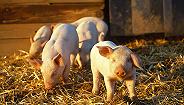 江苏省宜兴市发生非洲猪瘟疫情 农业农村部:已得到有效处置