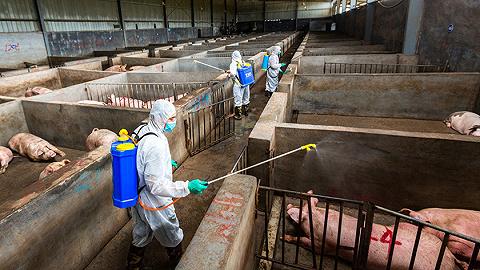 三部门:非洲猪瘟防控形势十分严峻 疫情已在17省份发生